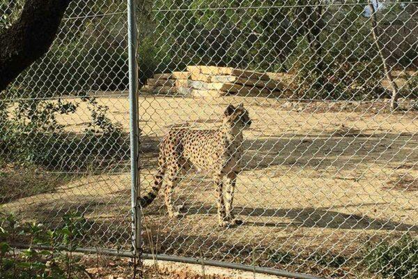 guepard-lunaret